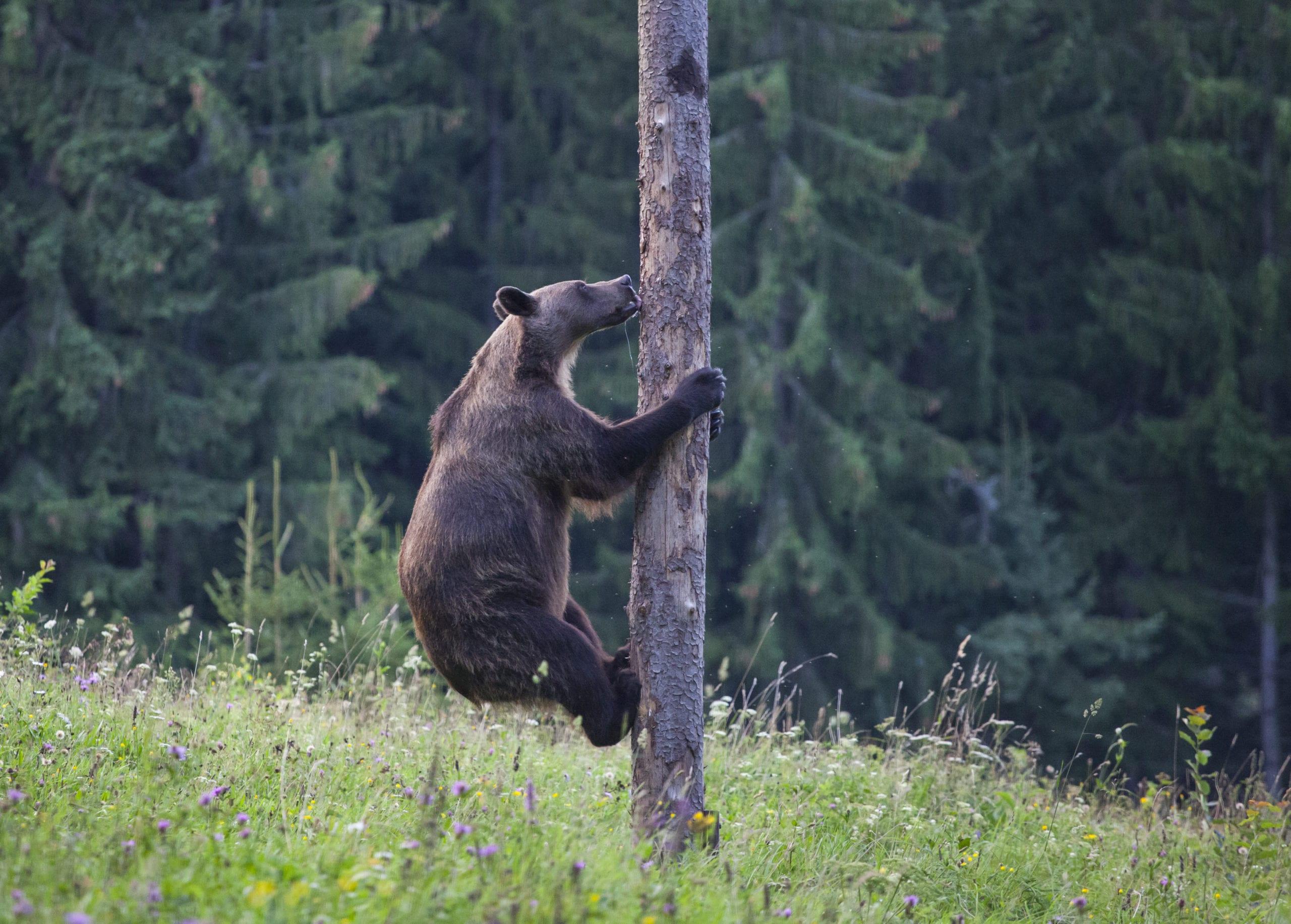 Brauner Contentbär klettert auf Baum