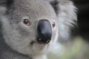 Koala Contentbär